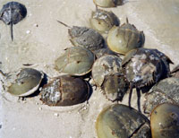 Photo of horseshoe crabs on the beach